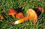 Crimson Waxcap (Hygrocybe punicea)